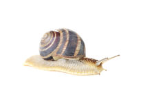 Brown snail. Isolated on a white background Royalty Free Stock Photography