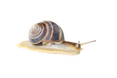 Brown snail Royalty Free Stock Images