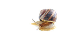 Brown snail. Isolated on a white background Stock Photography