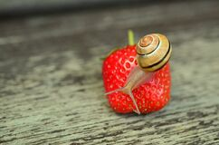 Brown Snail Perched on Strawberry Fruit Royalty Free Stock Image