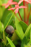 Brown snail and red flowers Royalty Free Stock Images