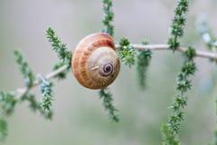 Brown snail sitting on geen tree macro closeup Royalty Free Stock Image