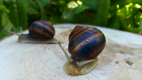 Brown snail on the stump of the tree Stock Image