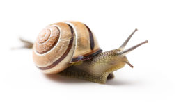 Brown snail on  white background Stock Images
