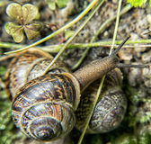 Brown Snails Royalty Free Stock Image