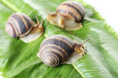 Brown snails Royalty Free Stock Photo