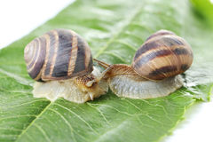 Brown snails Royalty Free Stock Images