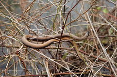 Brown Snake. Entwined in Brush over canal Stock Images