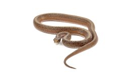 Brown Snake Stock Photography