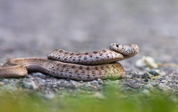 Brown Snake Royalty Free Stock Photos