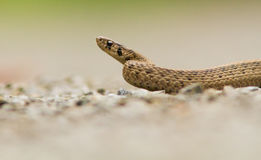 Brown Snake Stock Image