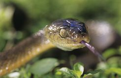Brown snake close-up Stock Photo