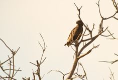 The Brown Snake Eagle Royalty Free Stock Images