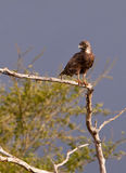 Brown Snake Eagle Stock Image