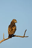 Brown snake-eagle Stock Photos