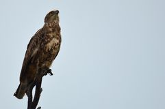 Brown snake eagle (Circaetus cinereus) Royalty Free Stock Images