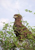 Brown snake eagle perched in a thorn tree Stock Photography