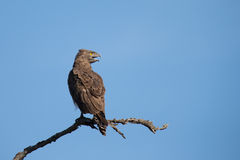 Brown snake eagle sitting on a branch against with fierce yellow Royalty Free Stock Images