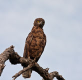Brown snake eagle sitting on a perch Royalty Free Stock Photography