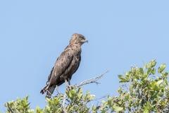 Brown Snake Eagle Royalty Free Stock Photo