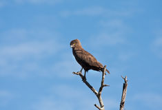 Brown snake eagle sitting in a tree Royalty Free Stock Photo