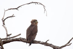 Brown snake eagle on a tree Stock Photography