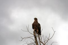 Brown Snake Eagle Up Front Royalty Free Stock Photos