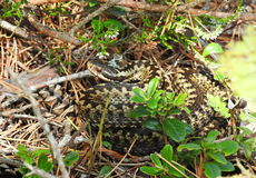 Brown snake in forest, Lithuania Stock Photo