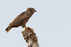 Brown Snake or Harrier Eagle Stock Images