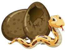 Brown snake hatching egg Royalty Free Stock Image
