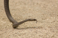 Brown snake on sand. Brown snake moving along on sand with toung out Stock Image
