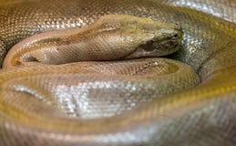 Brown snake spiral close-up Stock Image