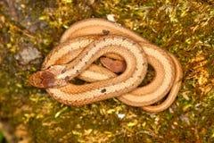 Brown Snake (Storeria dekayi) Stock Photos