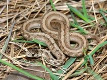 Brown Snake (Storeria dekayi) Stock Photography