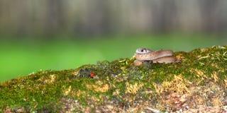 Brown Snake (Storeria dekayi) Illinois Royalty Free Stock Images