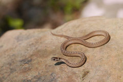 Brown snake - Storeria dekayi - Royalty Free Stock Photos