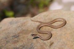 Brown snake - Storeria dekayi -. Texas brown snake (Storeria dekayi texana), a subspecies of Storeria dekayi, is a nonvenomous snake in the family Colubridae. It Royalty Free Stock Photos