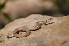 Brown snake - Storeria dekayi - Stock Photography