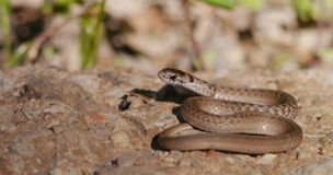 Brown snake - Storeria dekayi - Stock Photo