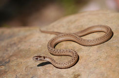 Brown snake. Texas brown snake (Storeria dekayi texana), a subspecies of Storeria dekayi, is a nonvenomous snake in the family Colubridae. It is endemic to North Royalty Free Stock Image