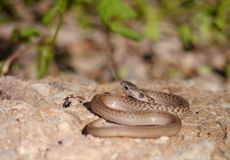 Brown snake Stock Photo