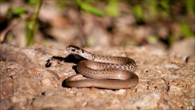 Brown snake Stock Photos