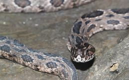Brown snake in water on the rock.  stock photography