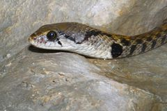Brown snake in water on the rock.  stock photos