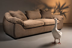 Brown sofa with a white goose standing in front. A shoot of brown sofa made of goose down with pillows on a dark background with a shadow in form of plant, with Royalty Free Stock Photography