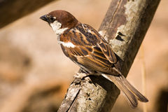Brown songbird sparrow. Small songbird sparrow perched on a log Royalty Free Stock Photo