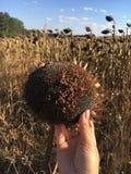 Brown-Sonnenblume mit den Samen bereit im Herbst Lizenzfreies Stockbild