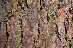 Brown sosny barkentyna Fotografia Stock