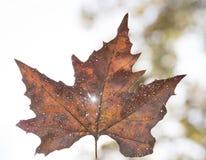 Brown spadku słońce i liść zaświecamy za mną Fotografia Stock