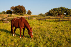 Brown spanish horse in a fenced field Stock Photo